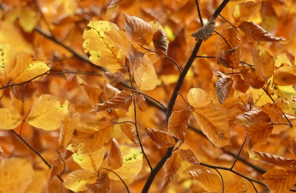 Dichtes Buchenlaub in seiner Herbstfärbung. Foto: Rainer Schwab