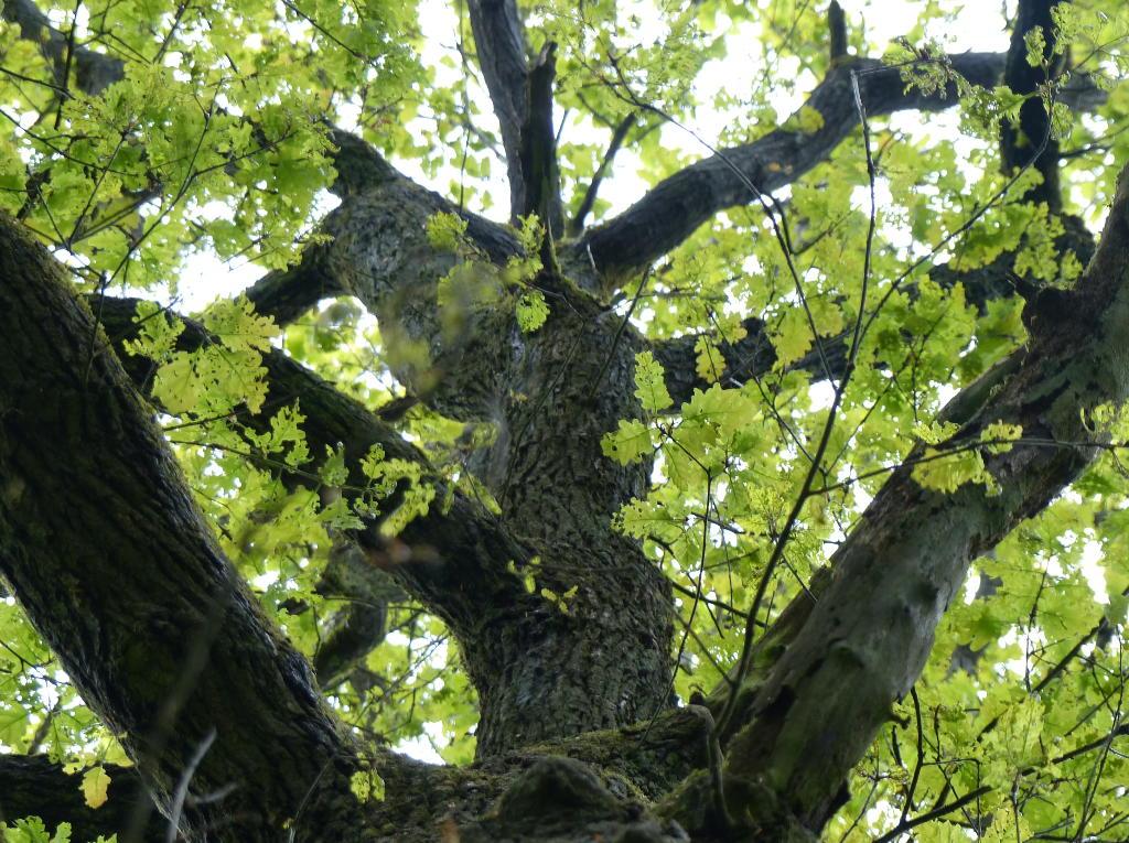Eine Traubeneiche wächst gen Himmel. Foto: Rainer Schwab