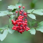 Roter Hirschholunder leuchtet durch den grünen Wald. Foto: Rainer Schwab