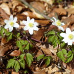 Annemonen kommen im Frühling als eine der ersten durch den vom Winter braunen, feuchten Boden und erhellen das braune Laub. Foto: Rainer Schwab