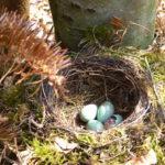An diesem Nest auf dem Boden wurde schon geräubert. Foto: Rainer Schwab