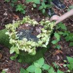 Am Stumpf einer gefällten Buche schlagen im Frühjar wieder neue Blätter aus. Foto: Rainer Schwab